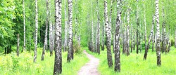 Beautiful birch trees with white birch bark in birch grove among other birch trees
