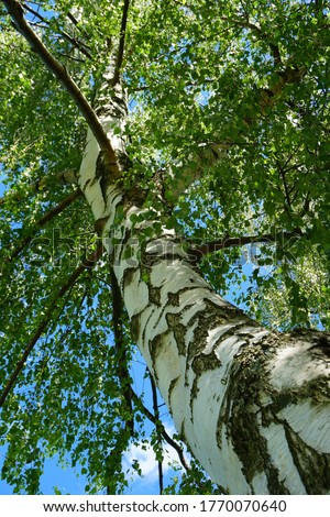 Beautiful birch trees with white birch bark in birch grove with green birch leaves in summer Photo stock ©