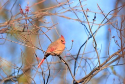 Beautiful bird feathers beak feathers orange red female northern cardinal black mask crested head dark eyes perched brown attractive vivid blue sky background sunny spring afternoon Nottingham USA