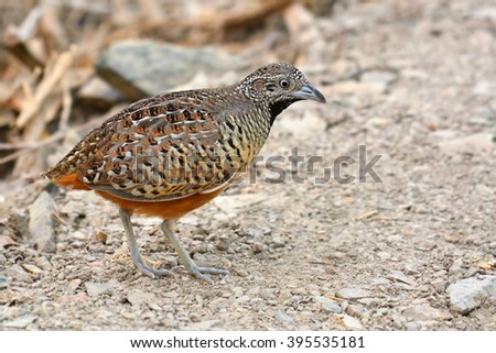 Beautiful bird, female Barred Buttonquail (Turnix suscitator), standing on the ground Photo stock ©