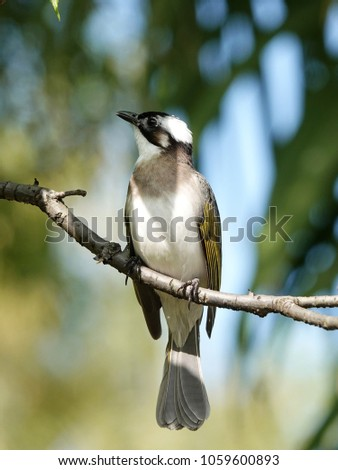Beautiful Bird in the City. Light-vented Bulbul (Pycnonotus sinensis) or Chinese bulbul perched on a tree branch with lush green foliage background in peace memorial pack, Taipei , Taiwan.