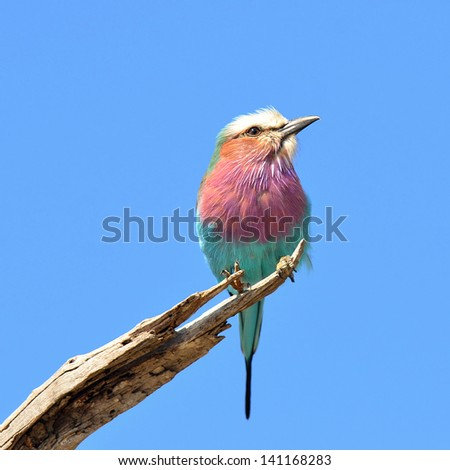 beautiful bird lilac-breasted roller