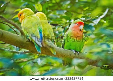 Beautiful bird, Love Bird, standing on a branch