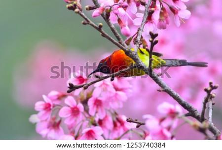 beautiful bird, Mrs. Gould's Sunbird with Cherry blossom , pink sakura flower