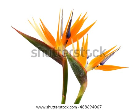Beautiful bird of paradise flowers isolated in white background ez beautiful bird of paradise flowers isolated in white background mightylinksfo