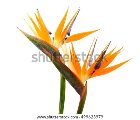Beautiful bird of paradise flowers strelitzia reginae isolated in beautiful bird of paradise flowers strelitzia reginae isolated in white background mightylinksfo