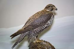 Beautiful bird of prey Mediterranean Falcon or Lanner (Falco biarmicus) sitting on a stone on a blue background, stuffed. Animals, birds, ornithology.
