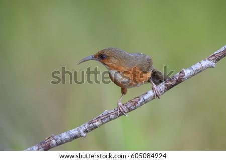 Beautiful bird of Thailand. Rusty-cheeked Scimitar Babbler.