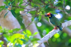beautiful bird on tree in the park.Coppersmith Barbet.