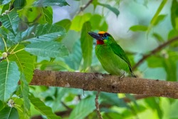 beautiful bird on tree in the park.Red-throated Barbet.