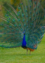 beautiful bird peacock colred tail