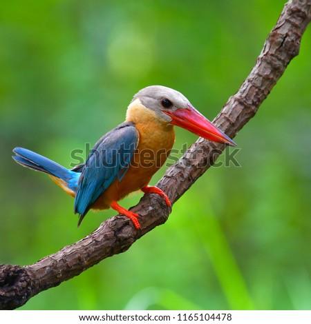 Beautiful bird, Stork-billed Kingfisher (Pelargopsis capensis) Bird standing on the branch, bird from Thailand.