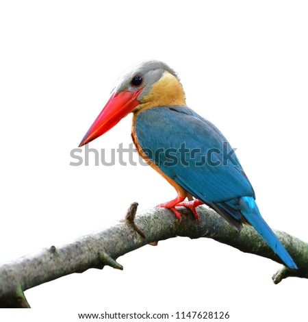Beautiful bird, Stork-billed Kingfisher (Pelargopsis capensis) Bird standing on the branch isolated on white background
