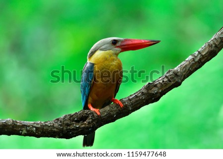 Beautiful bird Stork-billed Kingfisher, the pale blue wing light brown head and big red beak perching on wooden branch with blur green background, Pelargopsis capensis