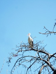 Beautiful bird stork with wings sits on branch of old tree. Landscape consists of silhouette bird stork with wings, clear sky, empty tree without foliage. Stork bird with wings is standing on tree.