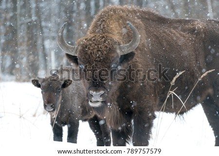 Beautiful bison and a cub in the picture. They were at the edge of the forest on a field covered with snow