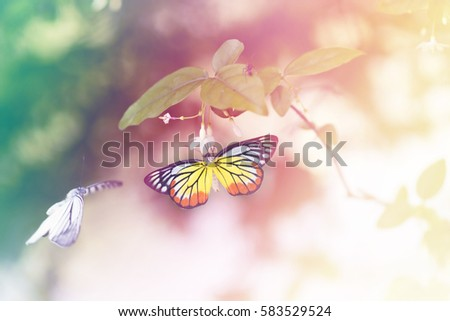 Beautiful black and orange and yellow butterfly's mating on flower Mok tree, Common Tiger (Danaus genutia) butterfly (close to monarch butterfly) perching on white flower with blur background. #583529524