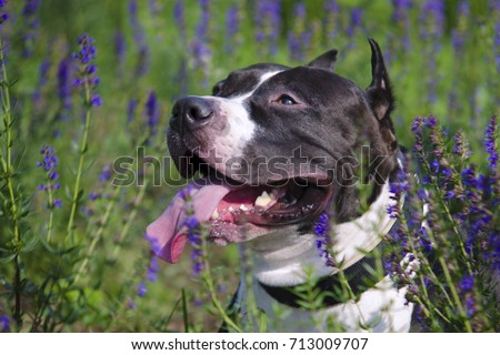 Beautiful black and white American Staffordshire Terrier dog portrait with selective focus lying in the lavender field in hot summer day. #713009707