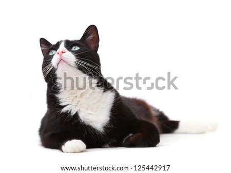Beautiful black and white cat looking up against white background