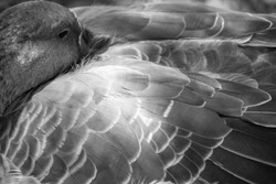 beautiful black and white close up of a ducks plumage, focus on the right side middle