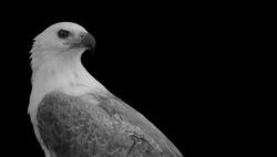 Beautiful Black And White Eagle Closeup Face