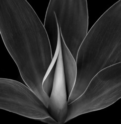 Beautiful Black and white Image of a Blue Agave Plant