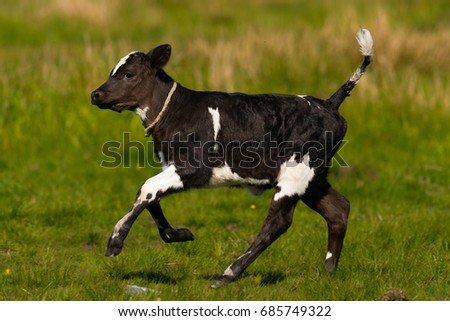 Beautiful  black and white little calf in green grass in Poland in gallop