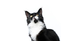 beautiful black and white maine coon cat looking up isolated on white background