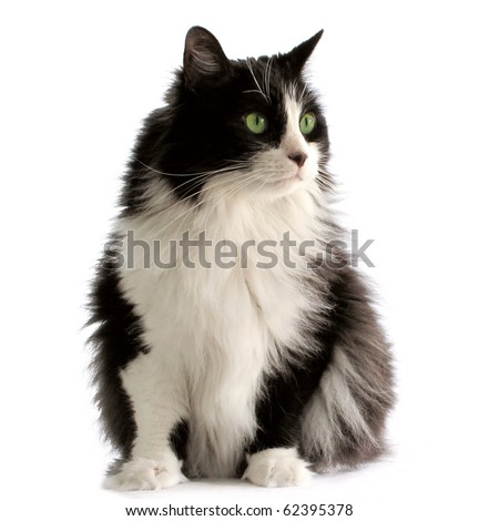 Beautiful black and white male cat with green eyes #62395378