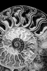 beautiful black and white monochrome background petrified extinct fossil shell animal Ammonite Nautilusmarine mollusc chamber spiral shape, symbol family happiness, wealth eternity isolated on black