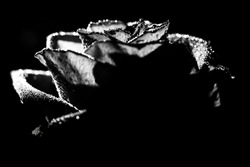 beautiful black and white photo of a rose flower, water drops close-up on rose petals, art photo of a plant, place for text