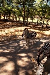 Beautiful black and white Plains zebra Equus quagga in an open field.