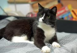 beautiful black and white shorthair cat lies