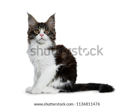 780283e68e Beautiful black brown tabby with white Maine Coon cat kitten sitting side  ways with tail behind