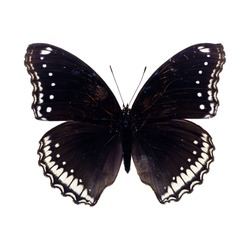 Beautiful Black Butterfly isolated on white background