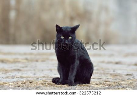 Beautiful black cat on the street