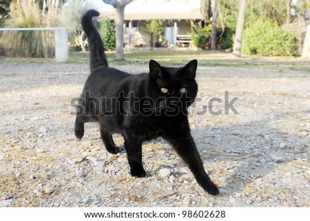 beautiful black cat walking in the garden
