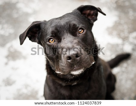 Beautiful black dog outside the animal shelter, looks up at the camera with a tilted head and curious expression. Pit Bull/Pitbull and Lab mix sitting outside with a smile and curious expression.