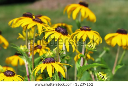 beautiful black eyed susan flower background