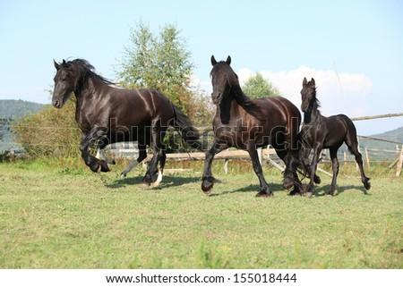 Friesian Horses Running Friesian Horses Running on