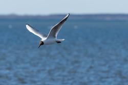 Beautiful Black Headed Gull, Chroicocephalus ridibundus, in elegant flight over blue water