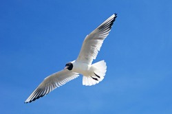 Beautiful black-headed seagull in flight with spread wings on the blue sky background