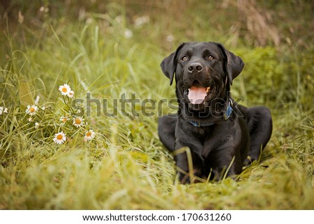 Beautiful black lab laying in a field.  Room for your text!