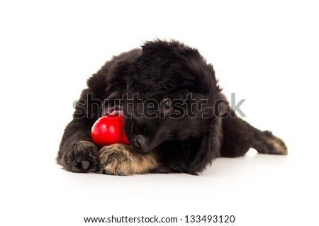 beautiful black labrador puppy chewing on a red toy