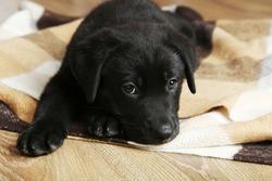 Beautiful black labrador puppy on plaid