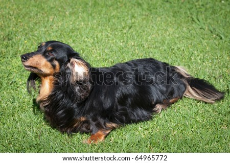 long haired dachshund black and tan. lack long-haired