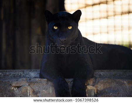 beautiful black panther
