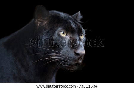 Beautiful black panther on dark bacground