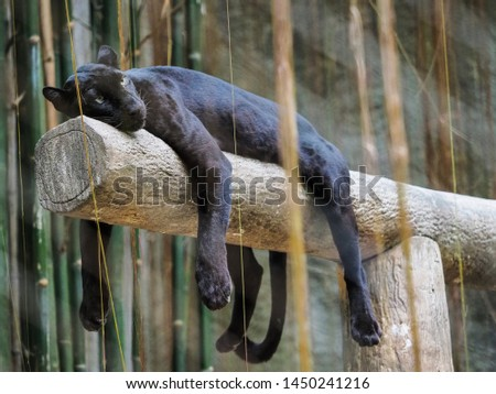 beautiful black panther picture thailand