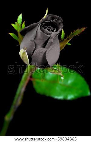 Beautiful black rose on black background